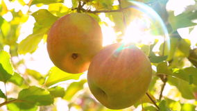Apple trees with red apples. stock video footage