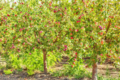 Apple trees with ripe fruits in the orchard Stock Photo