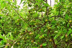 Apple trees with ripening apples Royalty Free Stock Photo