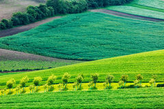 Apple trees in rolling fields of Moravia Royalty Free Stock Images