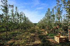 Apple trees row with boxes for fruits Stock Photo