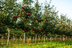 Apple trees in a row. Apple trees grow in a row, ripe red apples on them, white Apple trunks, good Sunny weather stock photos