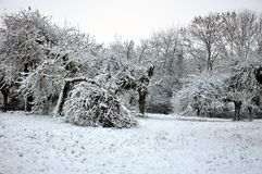 Apple trees  in snow Royalty Free Stock Image