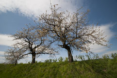 Apple trees in spring Royalty Free Stock Images