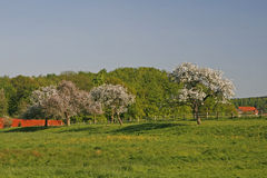 Apple trees in spring, Lower Saxony, Germany Stock Images