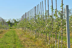 Apple trees in springtime Stock Photography