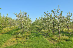 Apple trees in springtime Royalty Free Stock Image