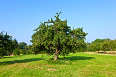 Apple trees in summer Royalty Free Stock Photos