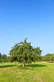 Apple trees in summer Royalty Free Stock Images