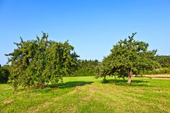 Apple trees in summer Stock Photo