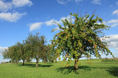 Apple trees in sunny day. Apple trees with new apples in sunny day Stock Photography