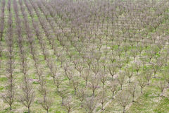Apple trees in winter before the bloom. Stock Images