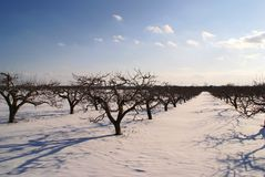 Apple trees on winter with blue clouds Royalty Free Stock Images