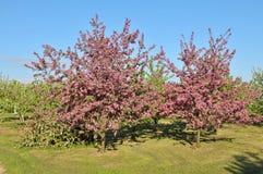Apple treeträdgård Arkivfoto