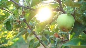 Apple-tuin bij het licht van zon stock footage