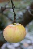 Apple Tuin in de zomer Stock Afbeeldingen