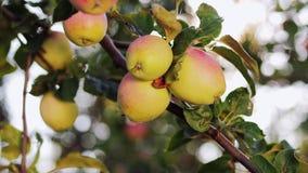 Apple-tuin op een zonnige dag stock footage
