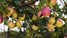 Apple-tuin op een zonnige dag stock video