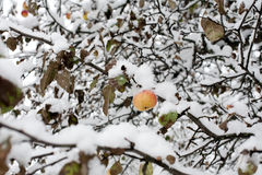 Apple under snow Royalty Free Stock Photography