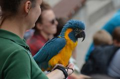 APPLE VALLEY, MINNESOTA - JUNE 2018: A parrot with a zookeeper during a bird show. A parrot with a zookeeper during a bird show stock photos