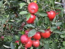 Apple variety Idared. Apples on the tree before the harvest Royalty Free Stock Images
