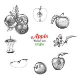 Apple vector set hand drawing. Clip art isolated on white background Stock Photography