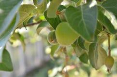 Apple verde nel giardino si è sviluppato fotografie stock libere da diritti