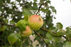 Apple verde rojo Imagen de archivo