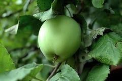 Apple verde sull'albero Fotografia Stock