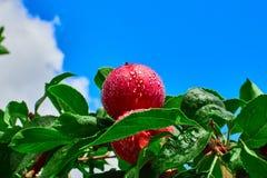 Apple vermelho e céu azul Imagens de Stock Royalty Free