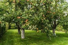 Apple vermelho fresco na árvore Imagens de Stock Royalty Free