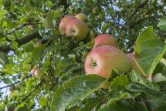 Apple vermelho fresco na árvore Imagem de Stock Royalty Free