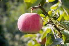 Apple vermelho maduro Imagens de Stock