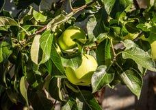 Apple vert frais photo libre de droits