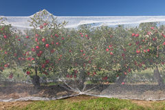 Apple vines with protective nets on them. Stock Images