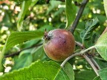 Apple w drzewie Obraz Stock