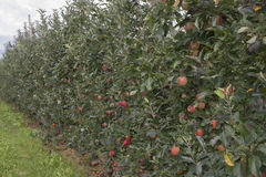 Apple-wachsend Stockbilder