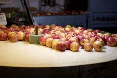 Apple washing. Apple harvest in Wisconsin. Apples are being washed on a vintage washing machine Stock Photo