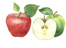 The apple watercolor  painting watercolor  Stock Photography