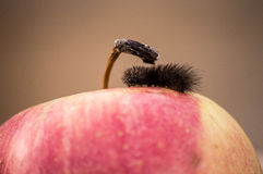 Apple whit caterpillar. Red apple whit a black caterpillar Stock Photo