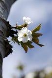Apple white flower Stock Photos