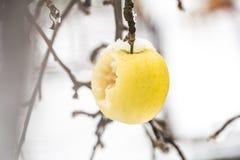 Apple wiegt auf den Niederlassungen im Schnee Stockfoto
