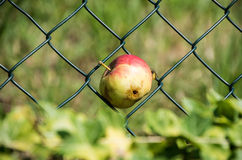Apple with a wormhole and bee Royalty Free Stock Photography