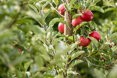Apple (Malus domestica) Stock Images