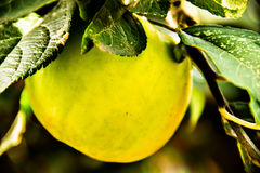 Apple. Yellow Apple hanging on a tree branch royalty free stock photo
