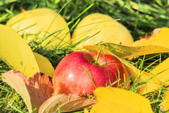 Apple  among the yellow leaves in the grass Stock Photo