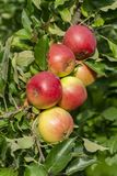Apple yields. Mature Fruits of Apple Tree in Orchard. Macro stock photo
