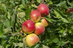 Apple yields. Mature Fruits of Apple Tree in Orchard. Macro stock photos