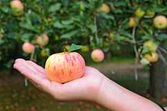 Apple in a young girl's hand Royalty Free Stock Photography
