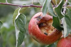Apple z insektami Obraz Royalty Free